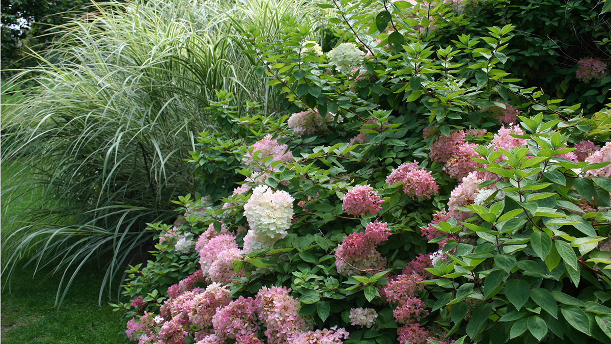 Obsession Panicle Hydrangea No Fuss Sun Loving Long Blooming