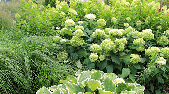 Limelight Hardy Hydrangea and Fire and Ice Panicle Hydrangea