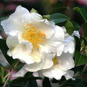 camelliacropped300x300