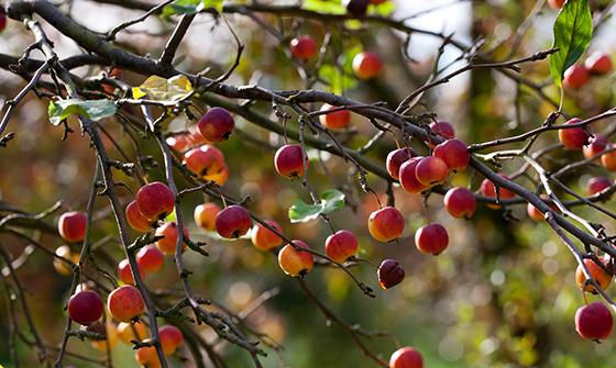 Fruit of Malus prunifolia var.macrocarpa in Autumn