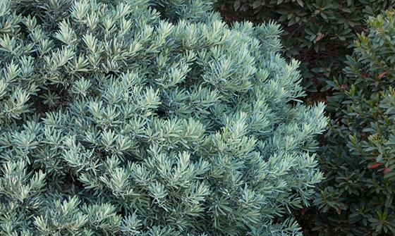 podocarpuscropped2