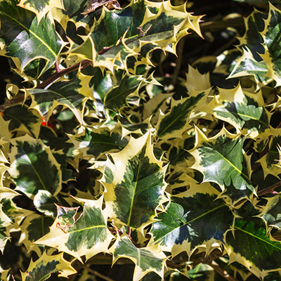 Variegated-English-Holly-400x400