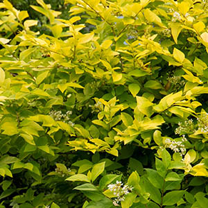 golden privetcropped