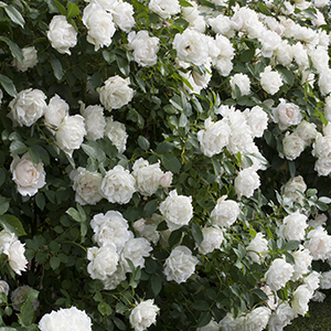 16 High Impact Fast Growing Shrubs Yes We Mean Zoom Grow