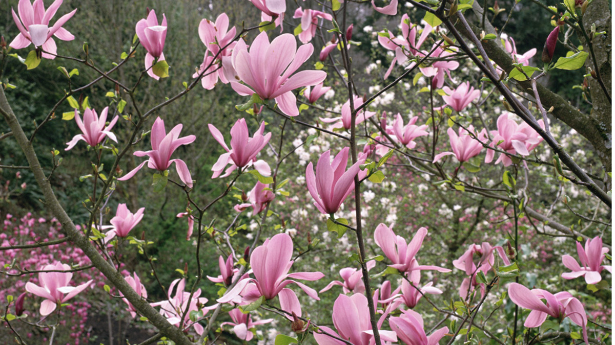 Mad For Magnolias Grow Beautifully