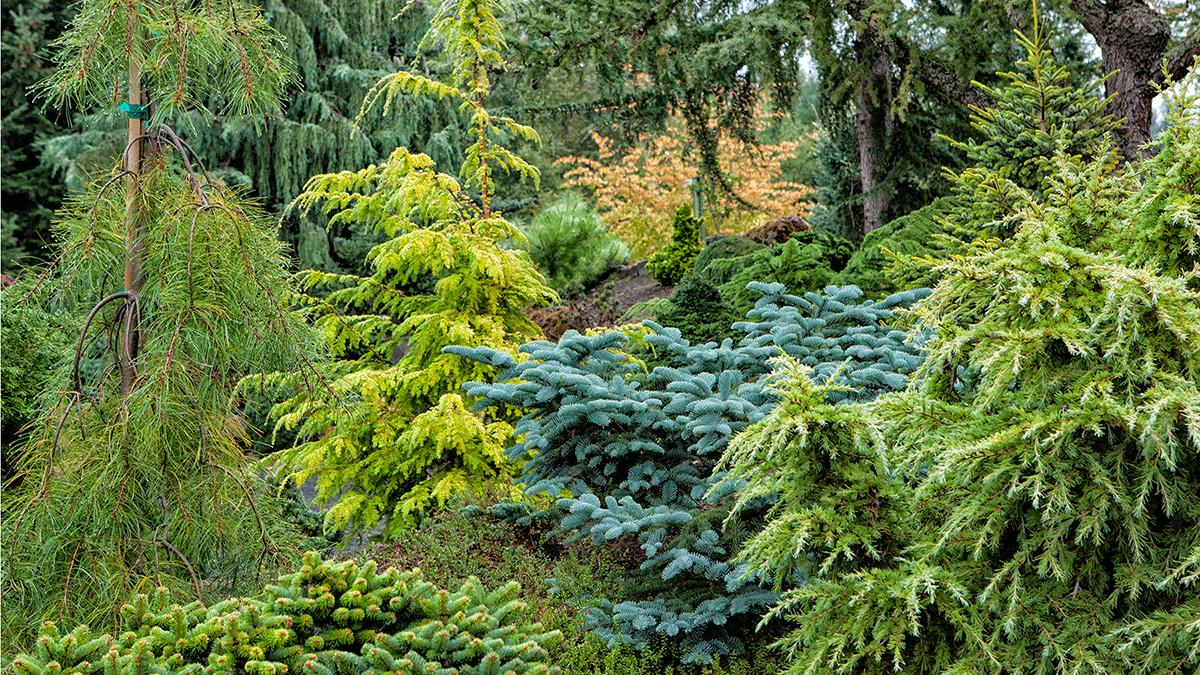 Dwarf Conifers Offer Big Solutions Grow Beautifully