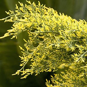 Gold Coast Juniper, Juniperus x pfitzeriana 'Aurea Improved', at Visalia CA USA