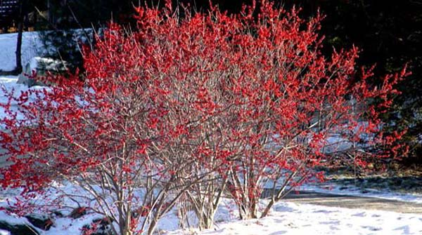 winterberry600x335