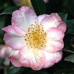 appleblossom250