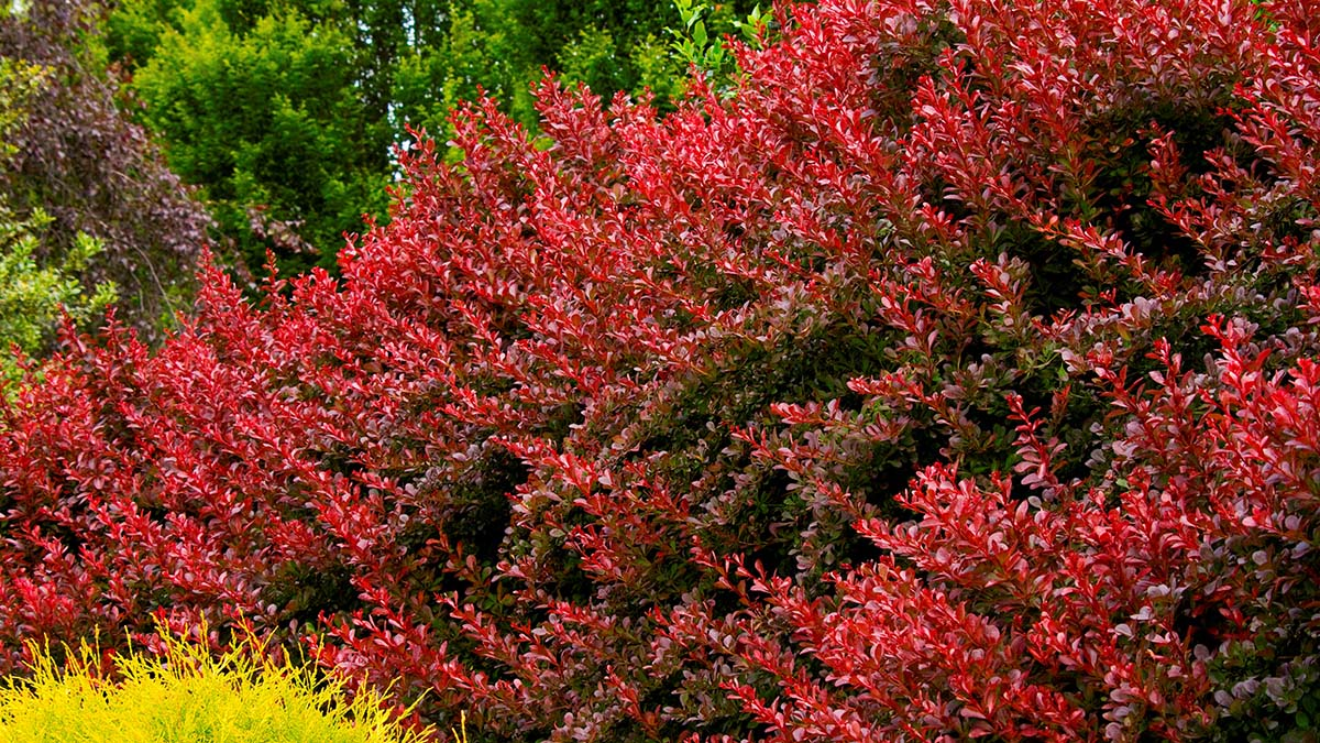 How To Use Barberry In The Landscape Grow Beautifully
