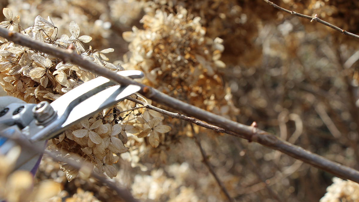 When To Prune Hydrangeas Grow Beautifully