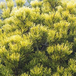 Pinus mugo Carstens Wintergold - Dwarf mountain pine