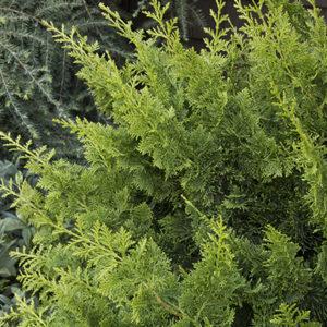 jade-wave-fernspray-false-cypress400x400