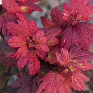 plum-passion-vine-maple400x400