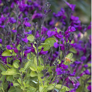 vibe-ignition-purple-salvia-medium-close-up400x400