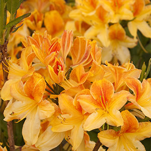 Golden Flare Azalea