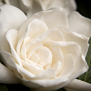 3781-everblooming-gardenia-grafted-extreme-close-up