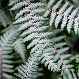 Athyrium niponicum 'Branford Beauty'