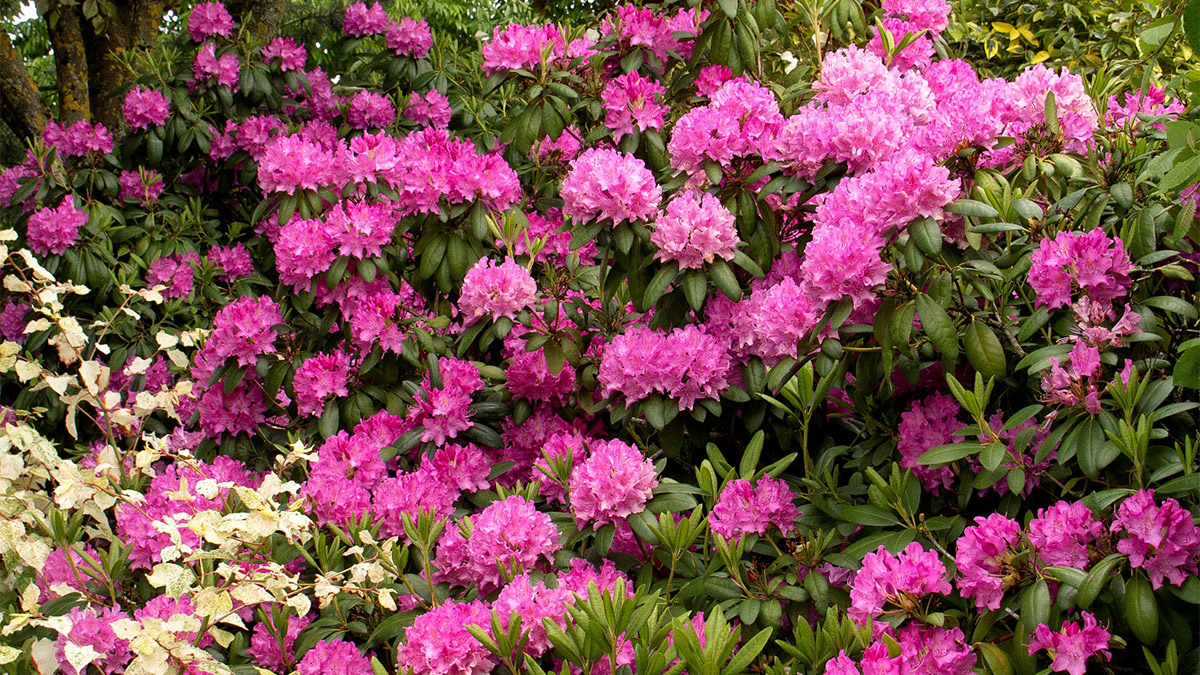 In Season Rhododendron Grow Beautifully