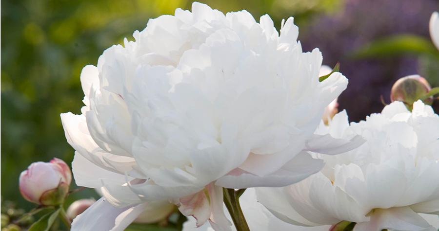 Paeonia 'Duchesse de Nemours'