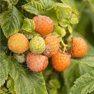 fallgoldraspberry300x300