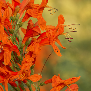 orange honeysuckle300x300