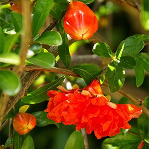 pomegranate300x300