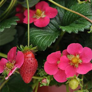 toscanastrawberry300x300