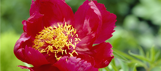 Paeonia Early Scout