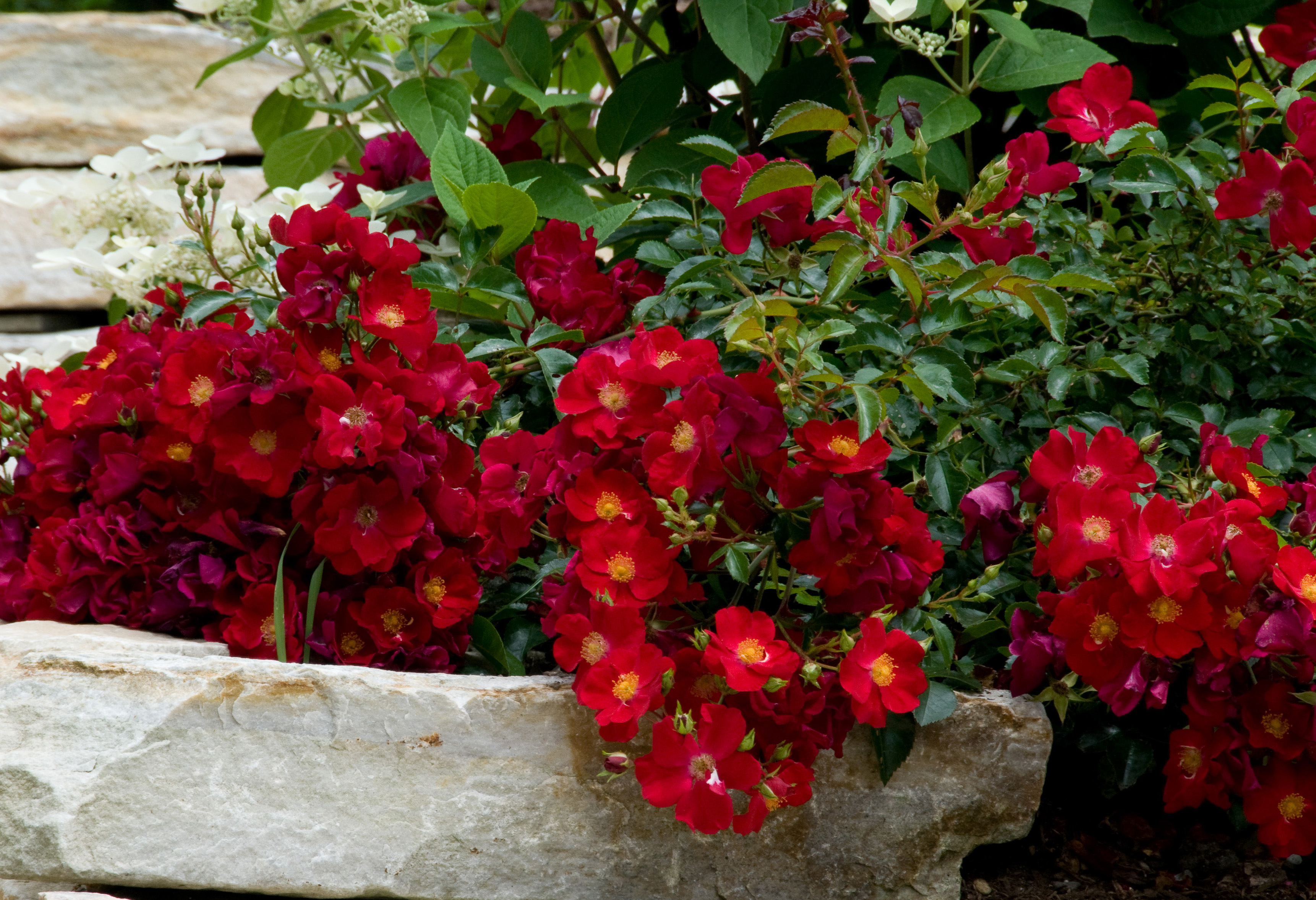 How To Care For Roses In Summer Grow Beautifully