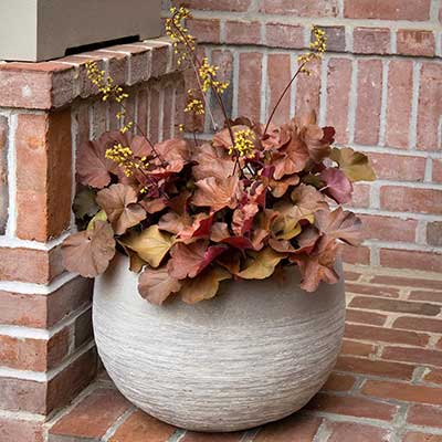 SIRENS' SONG™ Orange Delight Heuchera