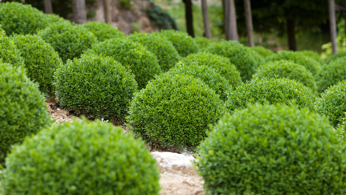 10 Things Topiary Lovers Should Know Grow Beautifully