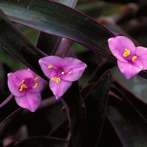 purpleheart400x400