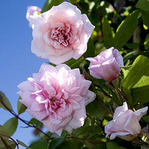 Cecile Brunner climbing Rose, Rosa hybrid