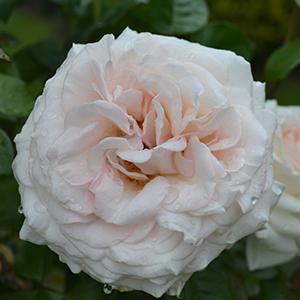 Rosa Francis Meilland