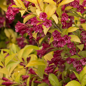 Some Favorite Cold Zone Shrubs Grow Beautifully