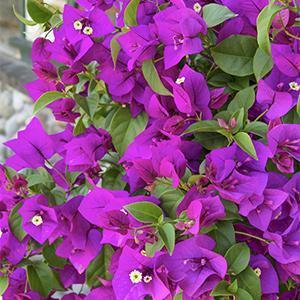 purplequeen300x300