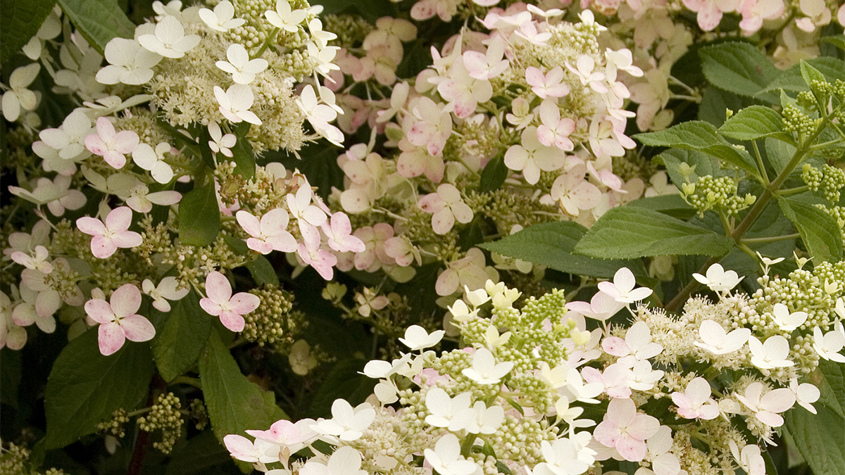 Midwest 5 Shrubs That Look Great In August Zone 3 7 Grow
