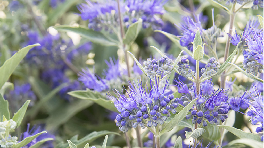 Northwest 5 Shrubs For August Zone 4 9 Grow Beautifully