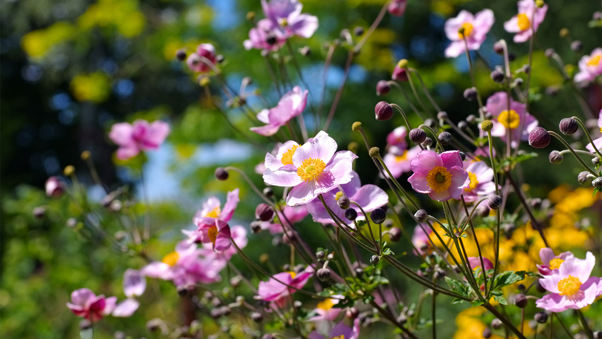 Fall Blooming Anemones To Plant Now Grow Beautifully