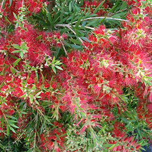 bottlebrush300x300