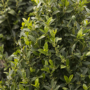 Emerald Colonnade® Holly