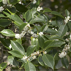 10 Evergreen Shrubs For Privacy Zone 8 11 Grow Beautifully