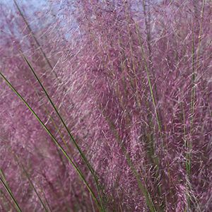 Plumetastic® Pink Muhly Grass