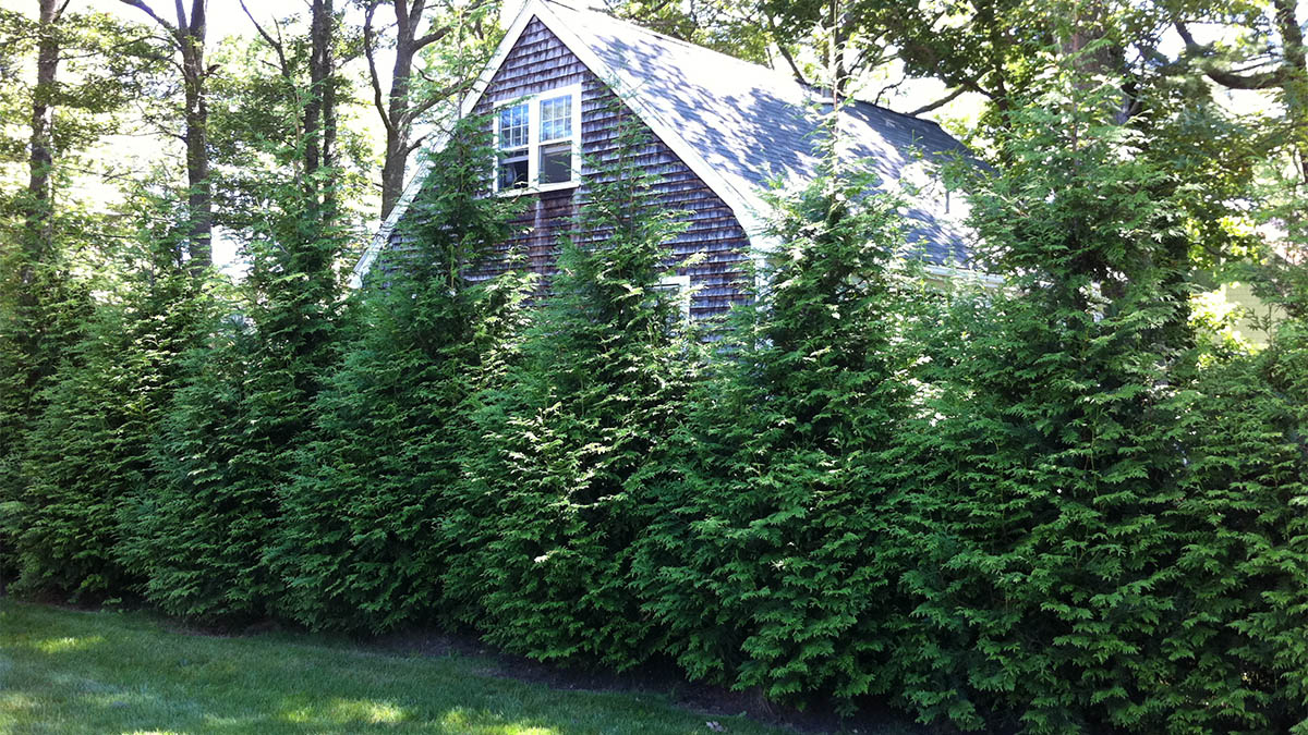 10 Evergreen Shrubs For Privacy Zone 3 7 Grow Beautifully