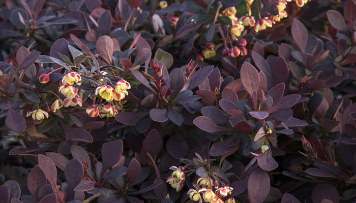 Lava Nugget™ Barberry-resize4