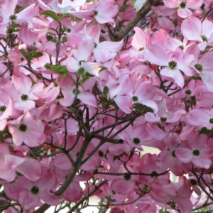 Stellar-Pink-Dogwood
