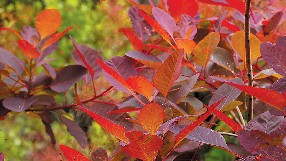 10 Unique Shrubs For Fall Color Zone 3 7 Grow Beautifully