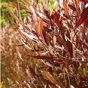 hopseed300x300