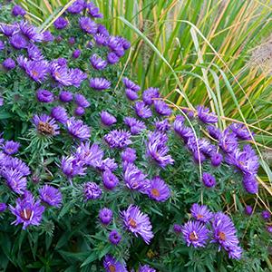 Aster novae-angliae 'Purple Dome', Pennisetum alopecuroides 'Hameln'